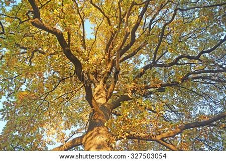 Golden oak tree at autumn season - stock photo
