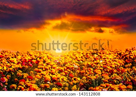 Golden Orange Blue Instagram Sunset With Sunbeams And Sunlit Clouds Over Colorful Field Of Fresh Orange, Red, Yellow and Purple Ranunculus Flowers - stock photo