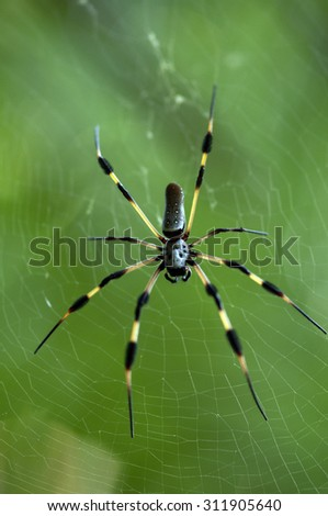 Golden orb spider - stock photo