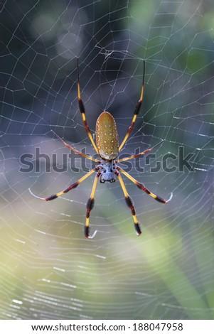 Golden Orb-weaver Spider - stock photo