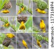 Golden Palm Weaver (Ploceus bojeri) Birds collage - stock photo