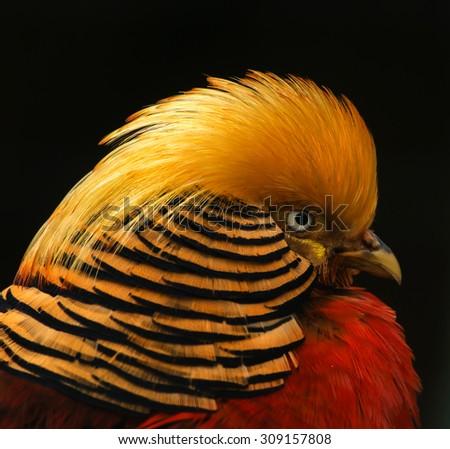 Golden pheasant - stock photo