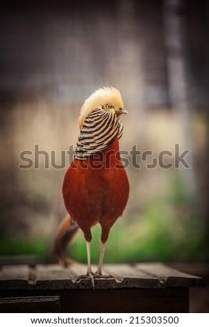 Golden pheasant, bird, red, portrait, yellow head - stock photo