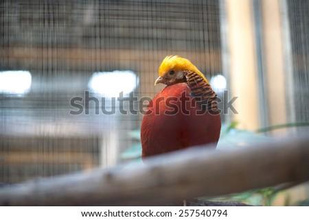Golden Pheasant (Chrysolophus pictus) - stock photo