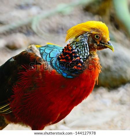 Golden Pheasant (Chrysolophus pictus), head profile - stock photo