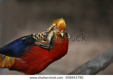 golden pheasant in the nature of the country. beautiful pheasant bird on nature background - stock photo