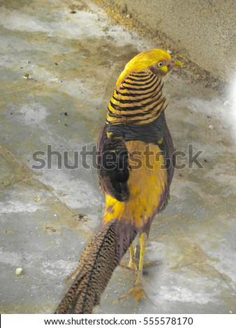 Golden Pheasant Male