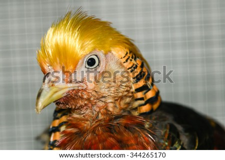 golden pheasant or Chinese pheasant in a pet shop in India, is a gamebird of the order Galliformes (gallinaceous birds) and the family Phasianidae (pheasants) - stock photo