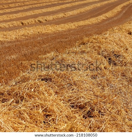 Golden ploughed wheat field texture after harvest in rural England. Square close up of remaining straw and spikes glowing in warm evening sun - stock photo