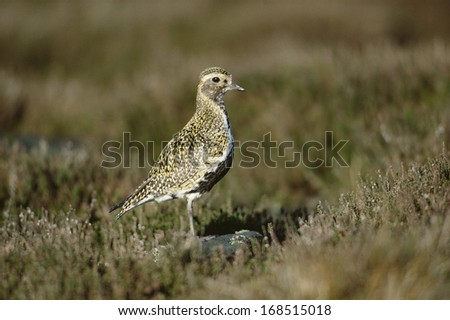 Golden plover, Pluvialis apricaria, single bird on grass - stock photo