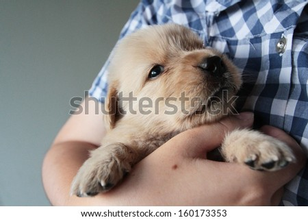 Golden puppy in the embrace of a woman.