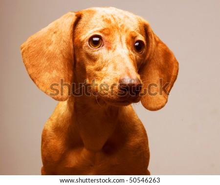 golden puppy rate. Studio shot. - stock photo