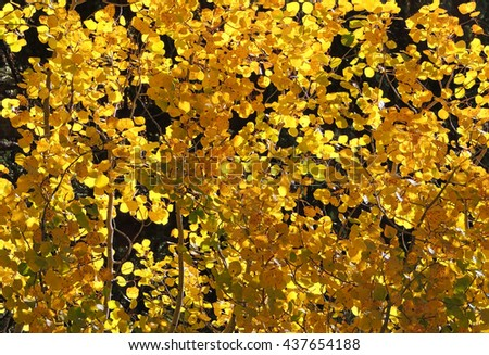 golden quaking aspen leaves in fall,  in rocky mountain national park, colorado        - stock photo