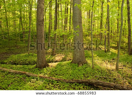 Golden rays shining through the Sacred Grove - stock photo