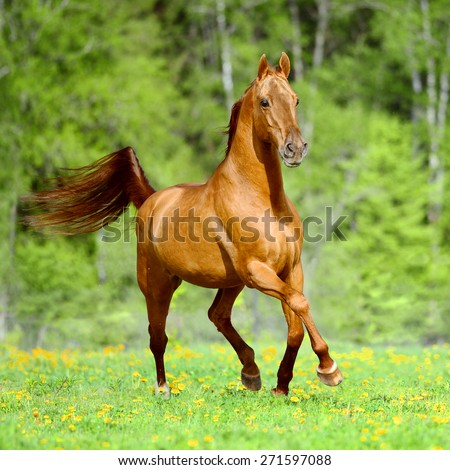 Golden red horse runs trot free in summer time - stock photo