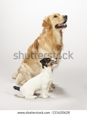 Golden retriever and jack russell terrier on a white background