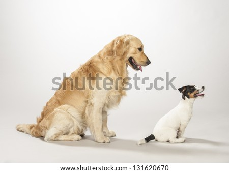 Golden retriever and jack russell terrier on a white background - stock photo