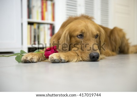 Golden Retriever and roses