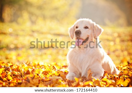 golden retriever autumn portrait - stock photo