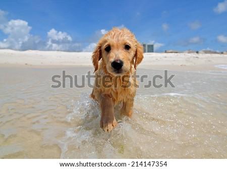 Golden Retriever Beach Puppy  - stock photo