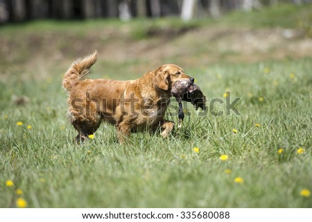Golden Retriever carrying a duck, British Columbia, Canada - stock photo