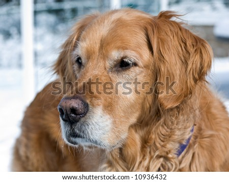 Golden retriever closeup