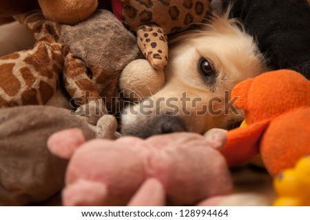 Golden retriever completely covered by pet toys - stock photo