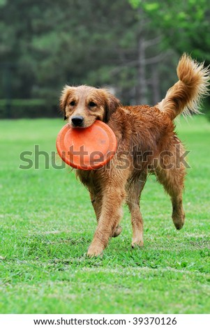 Golden Retriever Dog - stock photo