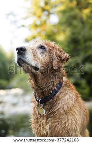 Golden retriever dog after a swim in the river