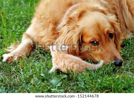 golden retriever dog and baby cat on green grass - stock photo