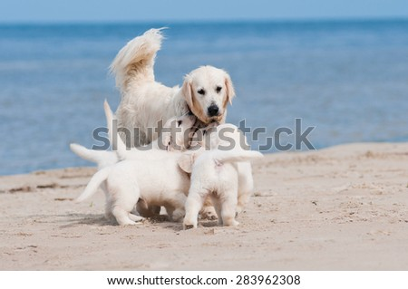 golden retriever dog and her puppies on a beach - stock photo