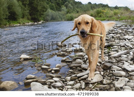Golden retriever dog at the river coast, summer time