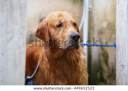 Golden retriever dog bathing behind wall, dog activity