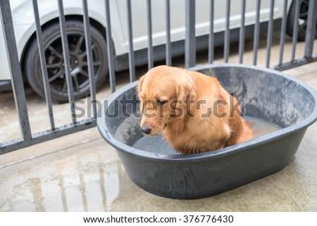 Golden retriever dog before gets a bath - stock photo