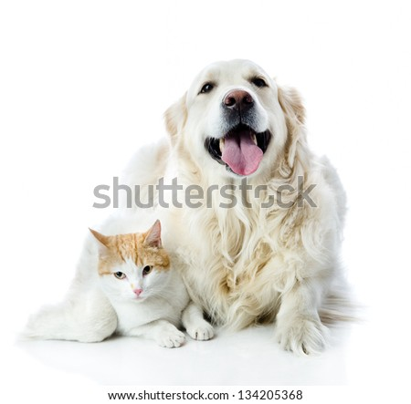 golden retriever dog embraces a cat. looking at camera. isolated on white background - stock photo