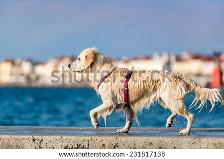 Golden Retriever dog enjoying summer - stock photo