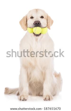golden retriever dog holding tennis balls - stock photo