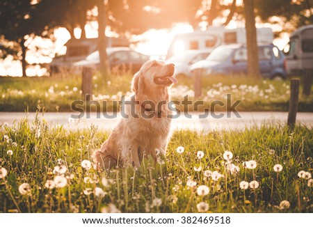 Golden retriever dog in enjoy sun.Selective focus on dog.TONED Image. - stock photo