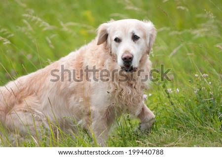 golden retriever dog in the meadow - stock photo