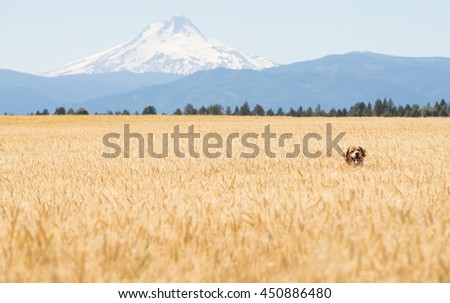 Golden Retriever Dog in wheat field - stock photo