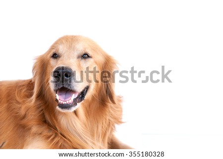 golden retriever dog isolated on white background - stock photo