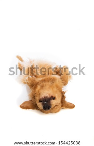 Golden Retriever dog laying down on his back - stock photo