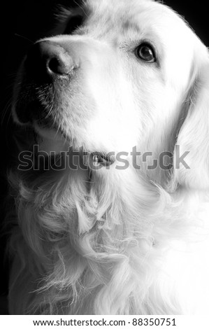 Golden retriever dog looking something