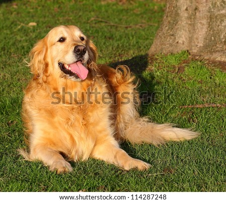 Golden Retriever dog lying down in a meadow on a sunny summer's day.  Golden Retriever's make wonderful family pets. - stock photo