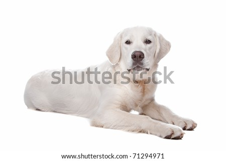 Golden retriever dog lying, isolated on a white background - stock photo