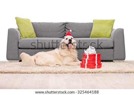 Golden Retriever dog lying on a carpet in front of a gray sofa with a few Christmas presents next to it isolated on white background - stock photo