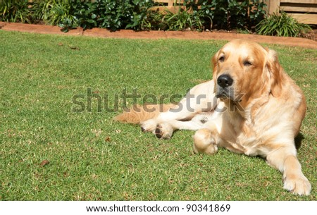 Golden retriever dog lying on the green grass in the garden