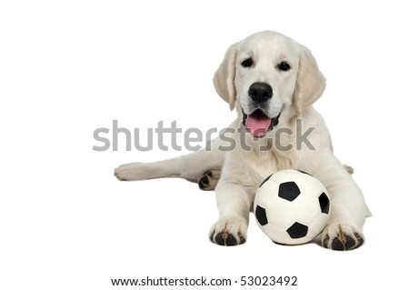 Golden Retriever dog of a yellow ivory creme shade lying with white black football ball - stock photo