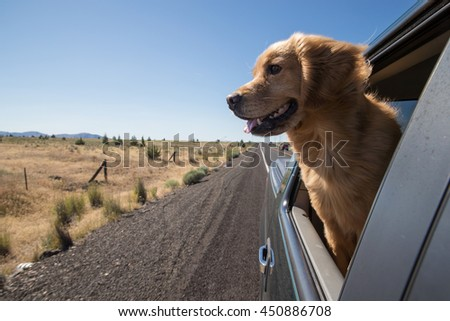 Golden Retriever Dog on a road trip - stock photo