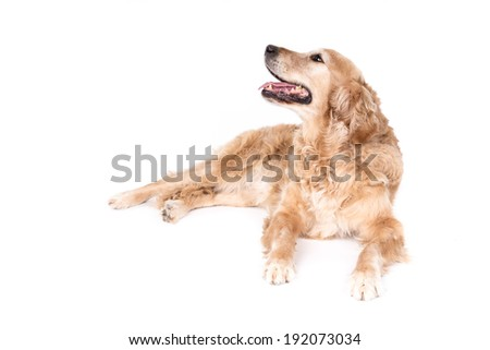 Golden Retriever dog on a white background